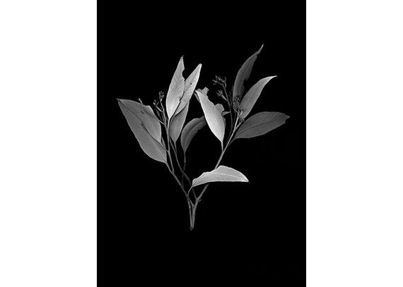 Clément Verger. Collected eucqlyptus,